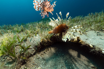 Lionfish in the tropical waters of the Red Sea.