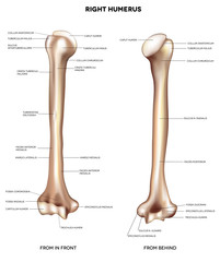 Humerus- upper arm bone