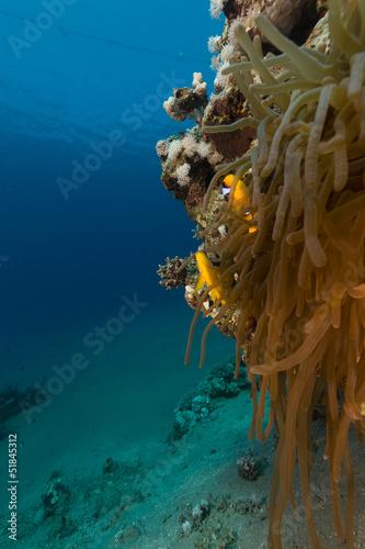 anemone-i-anemonefish-f-morze-czerwone