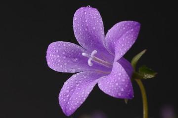 Primer plano de violeta con rocio