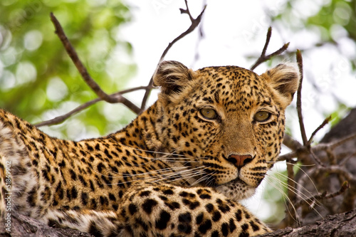Fotobehang Luipaard Leopard lying in tree
