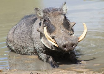 Warthog from Africa - Taking a mud bath under a warm sun