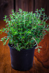 Marjoram in flower pot
