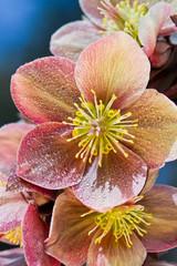 hellebore (helleborus purpurascens)