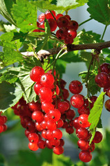 Branch of redcurrant