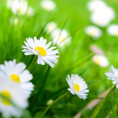 Frühlingswiese - Gänseblümchen