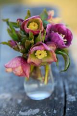 Helleborus flowers