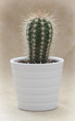Prickly cactus in a white flower pot