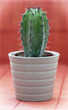 Green cactus in a flower pot on red background