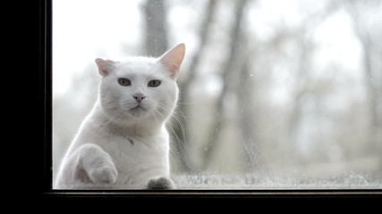 White cat looking through a dirty window