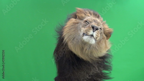 Slow Motion of a Lion shaking in front of a green key