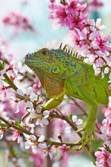 Iguana at walk on the flowering peach tree