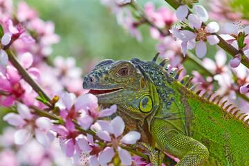 Iguana for a walk, eat a peach flowers