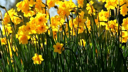 Daffodils in late afternoon spring sun.