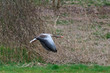 Goose flying over nature in spring