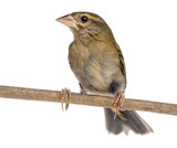 Red Fod perched on a branch - Foudia madagascariensis, isolated poster