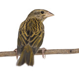 Red Fod perched on a branch - Foudia madagascariensis poster