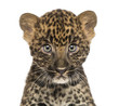 Close-up of a Spotted Leopard cub starring at the camera