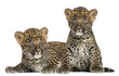 Two Spotted Leopard cubs lying down and sitting - Panthera pardu