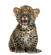 Spotted Leopard Cub Sitting An...