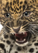 canvas print picture Angry Spotted Leopard cub - Panthera pardus, 7 weeks old