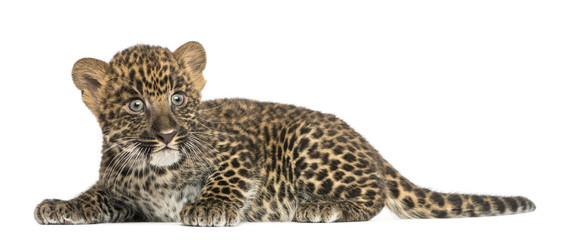 Spotted Leopard cub lying down - Panthera pardus, 7 weeks old
