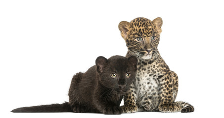 Two Black and Spotted Leopard cubs next to each other
