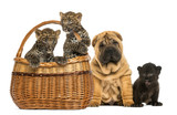 Sharpei puppy with Black Leopard cub and Spotted Leopards cubs
