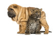 Shar pei puppy standing over a spotted Leopard cub