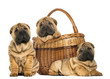 canvas print picture Three Sharpei puppies, sitting, lying and put in a wicker basket