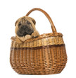 Sharpei puppy in a wicker basket, 11 weeks old, isolated on whit