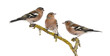 canvas print picture - Three Common Chaffinch on a branch, Fringilla coelebs
