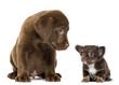 Labrador Retriever Puppy sitting and looking at a chihuahua