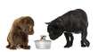 Labrador Retriever Puppy, French Bulldog looking at a mouse