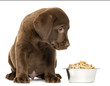 Labrador Retriever Puppy sitting with his full dog bowl