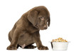 Labrador Retriever Puppy sitting with full dog bowl