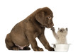 Labrador Retriever Puppy looking at a British Longhair kitten