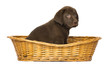 Labrador Retriever Puppy sitting in a wicker basket