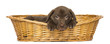 canvas print picture Labrador Retriever Puppy lying in a wicker basket, 2 months old
