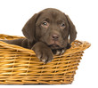 canvas print picture - Close-up of a Labrador Retriever Puppy lying in wicker basket