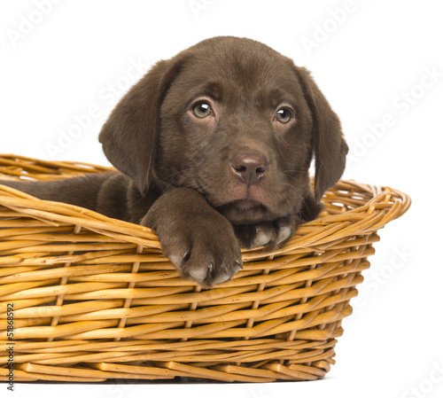 Close-up of a Labrador Retriever Puppy lying in wicker basket