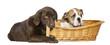English Bulldog in wicker basket, Labrador Retriever
