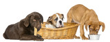 Group of dogs, eating, in wicker basket