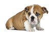 canvas print picture English Bulldog Puppy sitting, 2 months old, isolated on white