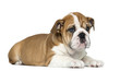 canvas print picture English Bulldog Puppy lying, 2 months old, isolated on white