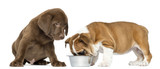 Labrador retriever puppy looking at an English Bulldog eating
