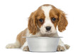 Cavalier King Charles Puppy lying in front of an empty bowl