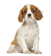 Cavalier King Charles Puppy sitting, 2 months old, isolated
