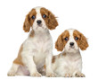 Two Cavalier King Charles Puppies sitting and lying