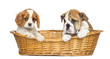 Cavalier King Charles and English Bulldog puppies in a basket
